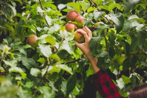 Branding-lavthængende-frugter