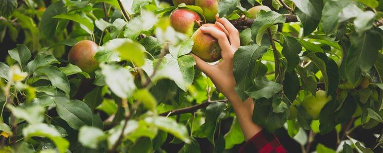 Lavthængende frugter til din hjemmebranding